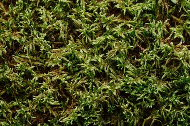 森の自然の苔のテクスチャの緑の密な森の苔のクローズアップ