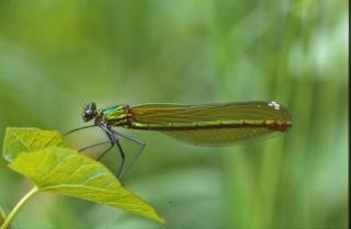 Green dragonfly, firefly