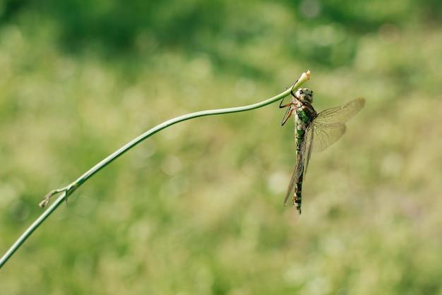 Зеленая стрекоза в дикой природе