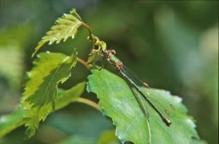 Green dragonfly, macro, insect