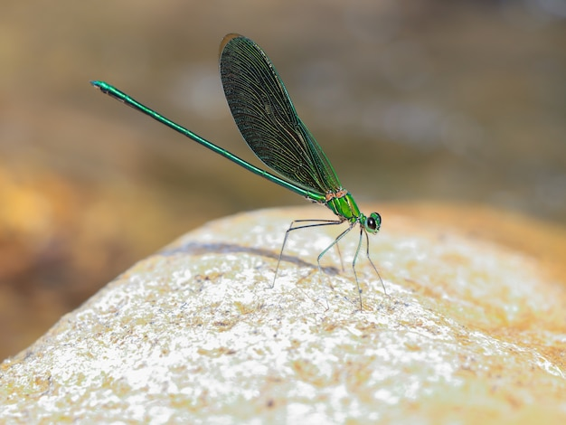 Green dragonfly on a rock near the water