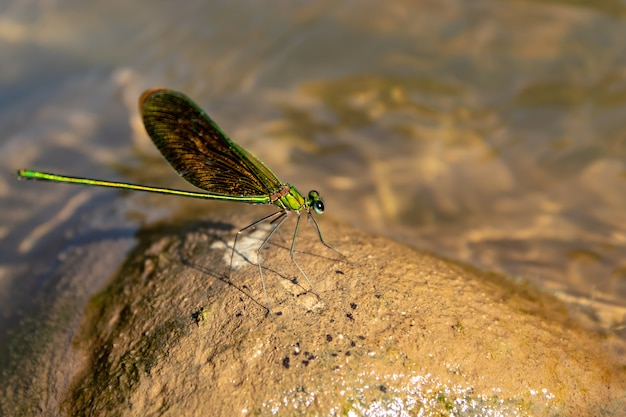 Green dragonfly on a rock in a stream.