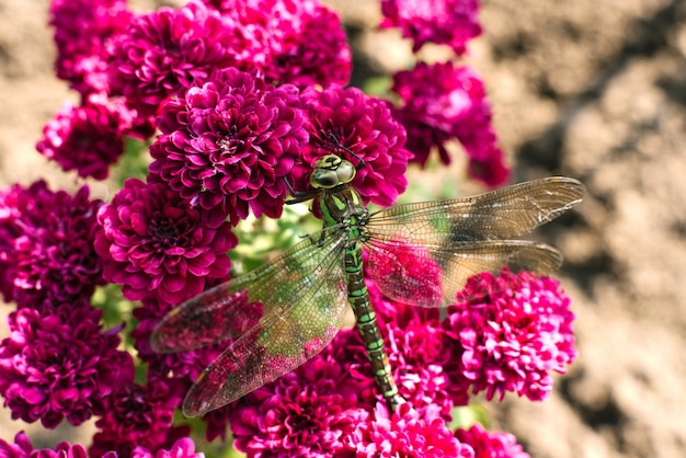 Green dragonfly sits on purple chrysanthemum flowers in the garden