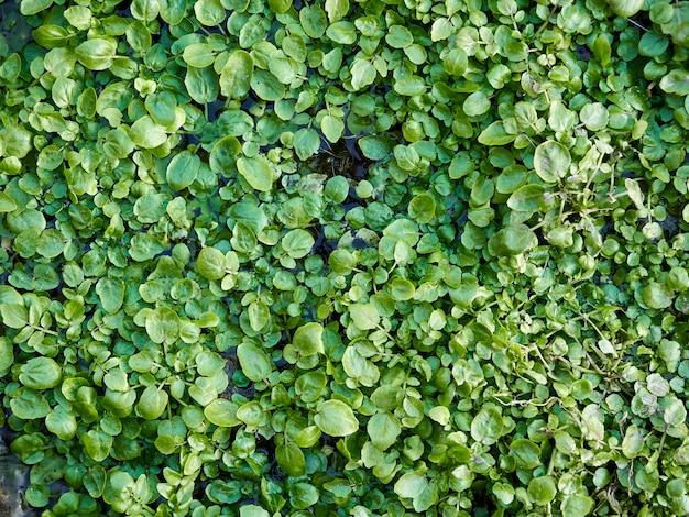 Зеленая ряска в воде фоновой текстуры