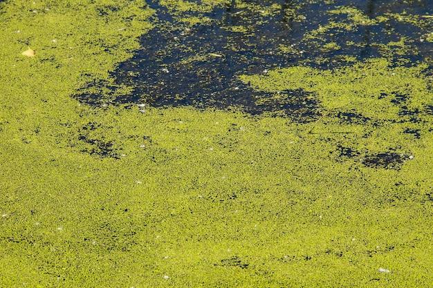 물 표면에 녹색 duckweed