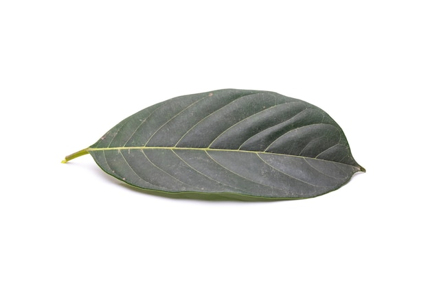 Green dusty jackfruit leaf close view on isolated white background