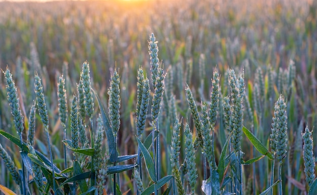 露に覆われた小麦の緑の穂、パンの穂の朝日の輪郭の光。