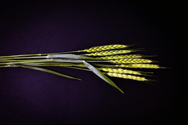Зеленые колосья пшеницы на черном фоне. концепция сельского хозяйства.