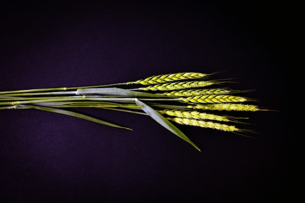 Green ears of wheat on a black background. agriculture concept.