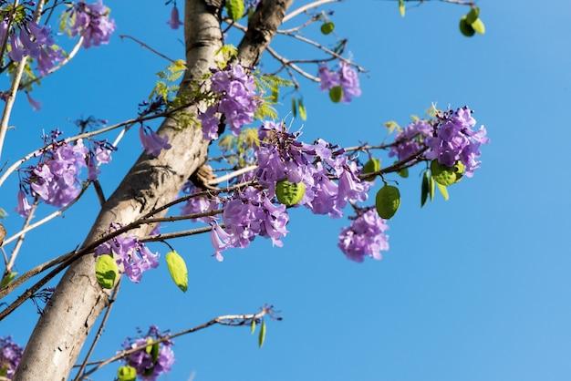 緑の黒檀またはジャカランダmimosifolia花と自然の背景の木。