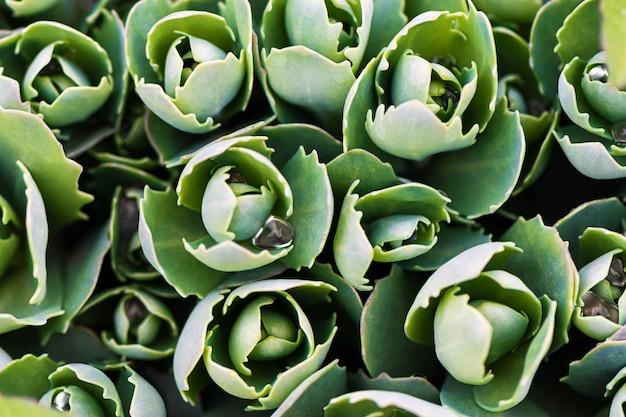 Green echeveria bush, close up.