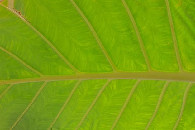 Green elephant ear leave pattern
