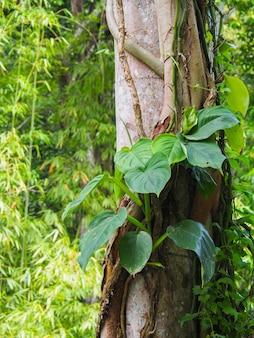 Зеленый epipremnum pinnatum, лазание по дереву