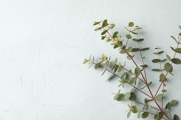Зеленая ветвь эвкалипта, изолированные на белом