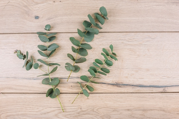 Green eucalyptus populus leaves and twigs on wooden textured background