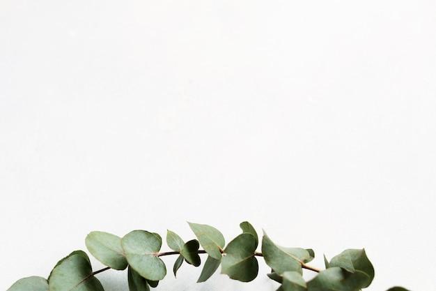 Зеленая веточка эвкалипта на белом фоне. минималистичный натуральный декор.