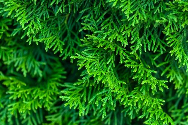 Green evergreen thuja branches closeup
