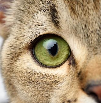 Зеленоглазый шотландский котенок с прямыми ушами, макро