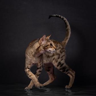 Зеленоглазый восточный кот с полосатой шерстью и большими ушами сидит и повернулся назад, вид сбоку