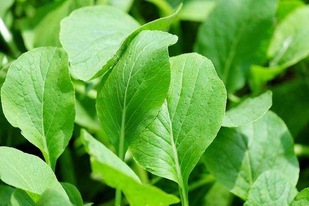 ファーム内の緑の偽パッチョイ野菜