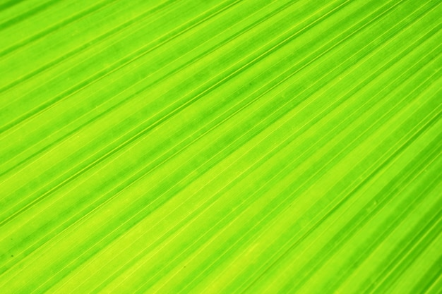 Green fan palm leaf with texture and background
