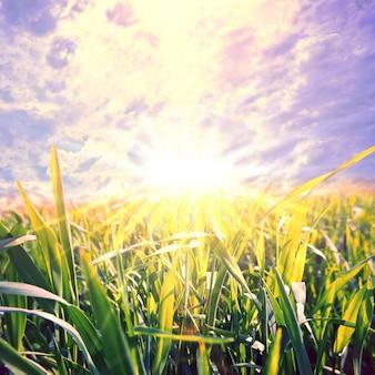 중간에 태양이 녹색 농장 필드