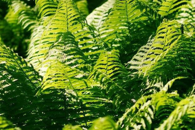 Зеленый папоротник фон
