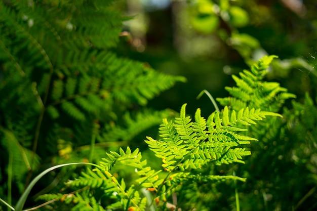 緑のシダの鮮明な草のクローズアップ高品質の写真環境の概念