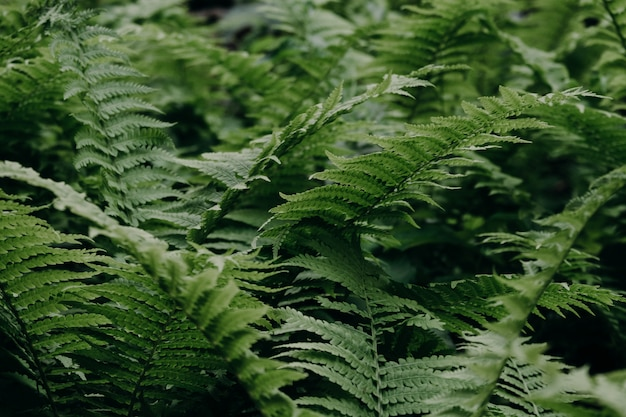 Green fern in the forest. natural background
