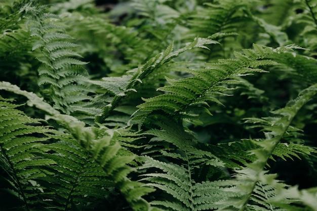 森の緑のシダ。自然な背景