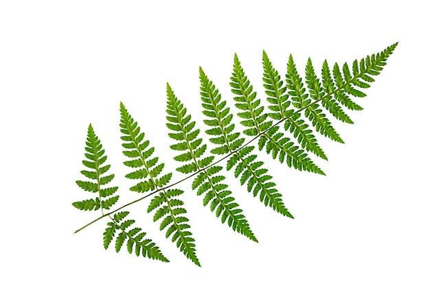 Зеленый лист папоротника на белом фоне