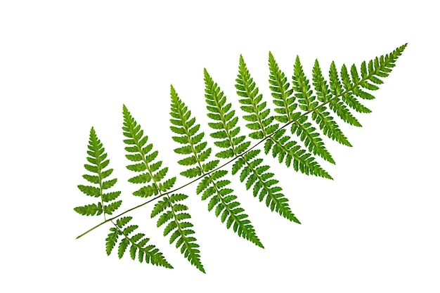 Green fern leaf on a white background Premium Photo
