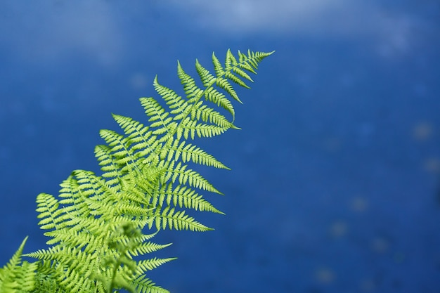 Green fern leaves on the background of blue lake water