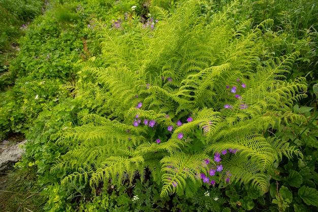 Зеленые листья папоротника растут и фиолетовые полевые цветы цветут в летнем лесу