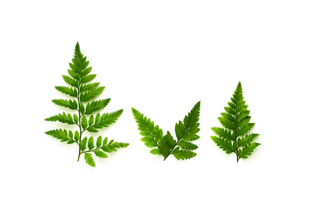 Green fern leaves isolated on white background