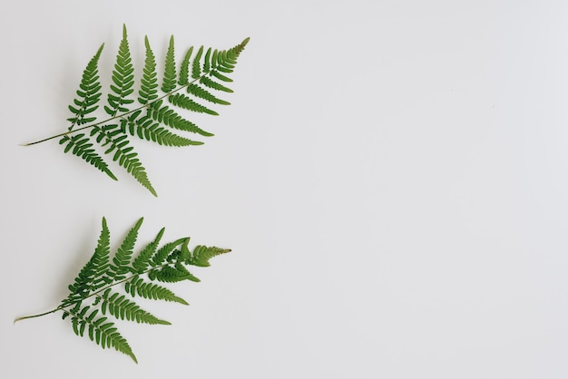 Green fern leaves on a white background 1