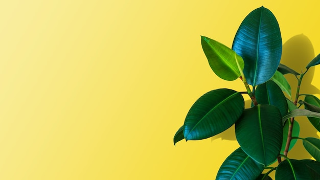 Green ficus elastica plant on yellow background with copy space