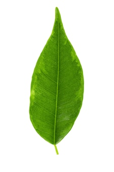 Green ficus leaf on a white background. cut with a pen. full depth of field.
