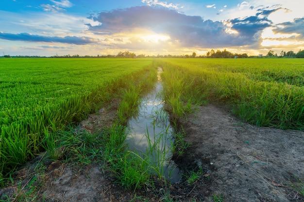 夕焼け空とアジアの国の農業収穫のグリーン フィールド コーン フィールドまたはトウモロコシ
