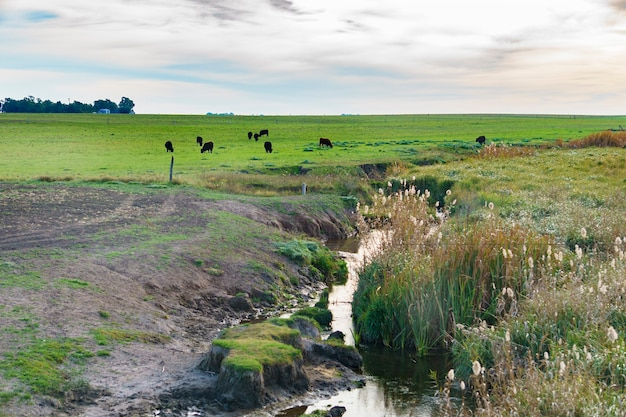 牛のいる牧草地と前景の小川で覆われた緑の野原