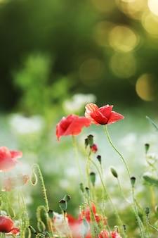 양 귀 비 꽃의 그린 필드