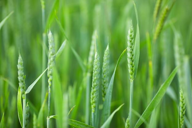 Зеленое поле молодых злаков. рост пшеницы на ферме.