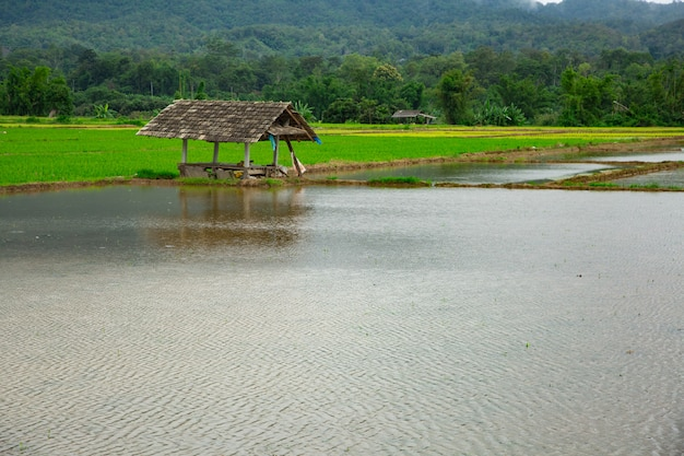 Green field of rice plant with water