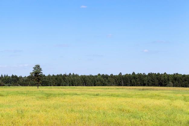 푸른 cloudless 하늘을 배경으로 수평선에 시리얼과 숲 그린 필드