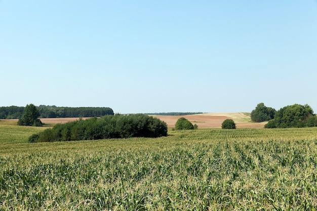 Зеленое поле с кукурузой