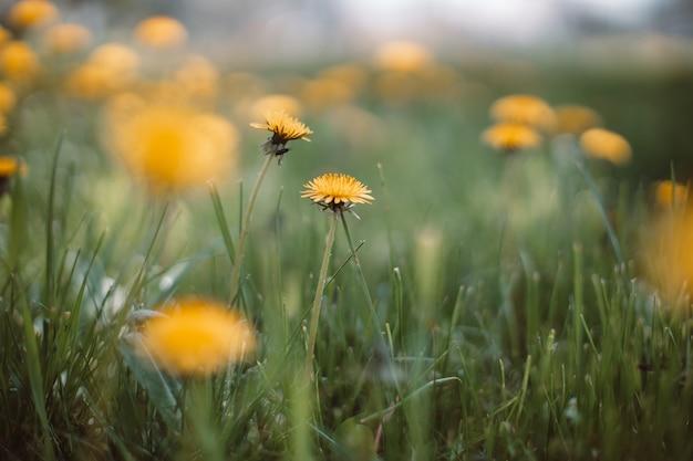 Зеленое поле с желтыми одуванчиками. предпосылка природы флористическая в начале лета. романтическая пейзажная панорама, копия пространства.