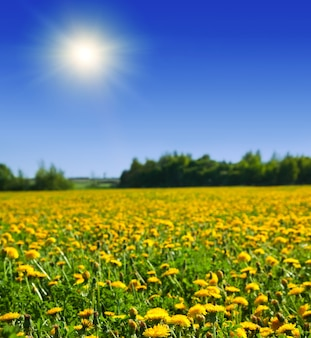 Green field with  yellow dandelions