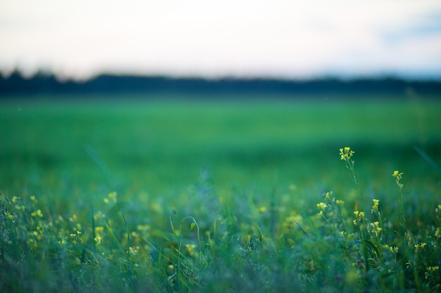 Green field with yellow flowers blue evening sky the background is heavily blurred copy space