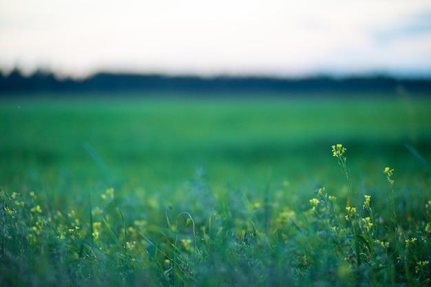 黄色い花のある緑の野原青い夕方の空背景が大きくぼやけているコピースペース