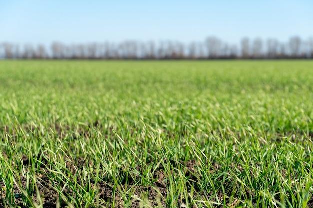 어린 겨울 밀이 자라기 시작하는 녹색 들판